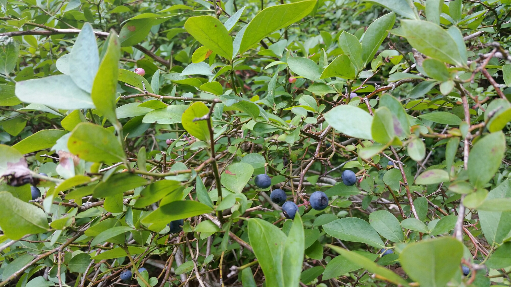 Blueberry picking!