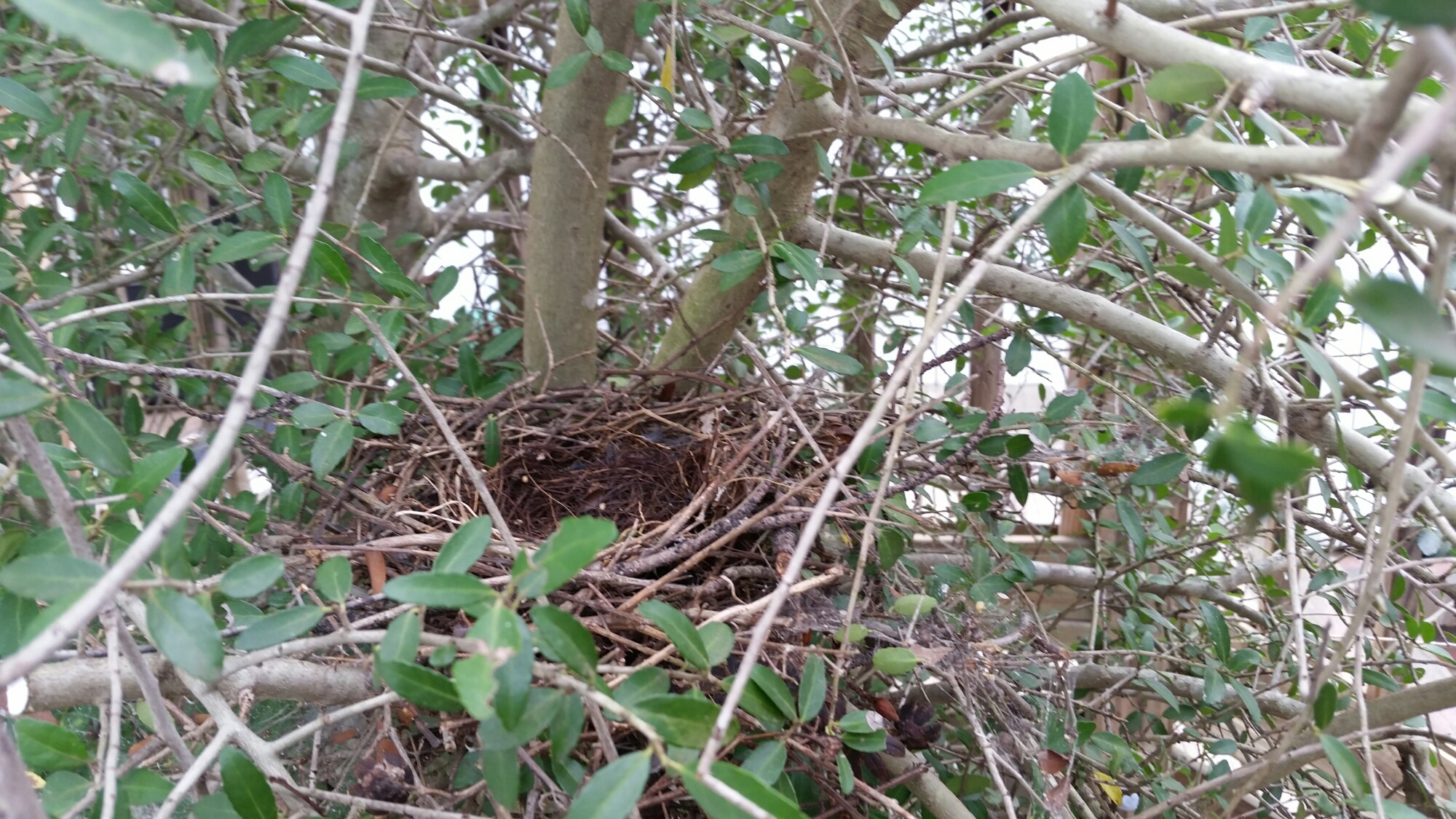 Bird's Nest in Youpon Tree