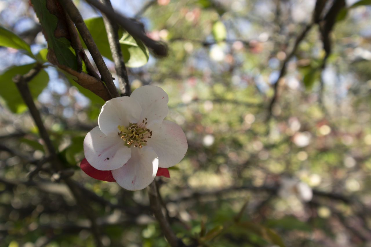 flowering quince at Coker Arboretum